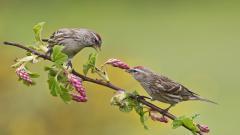 Sparrow Birds Computer Wallpaper 49380