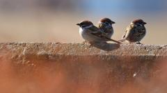 Sparrow Birds Wallpaper 49387