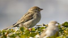 Sparrow Widescreen Wallpaper 49383