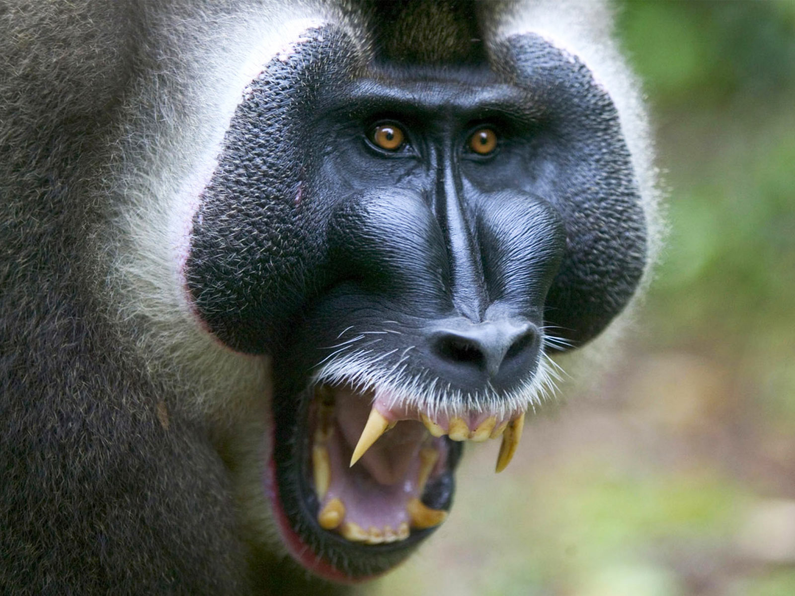 angry baboon wallpaper 59963
