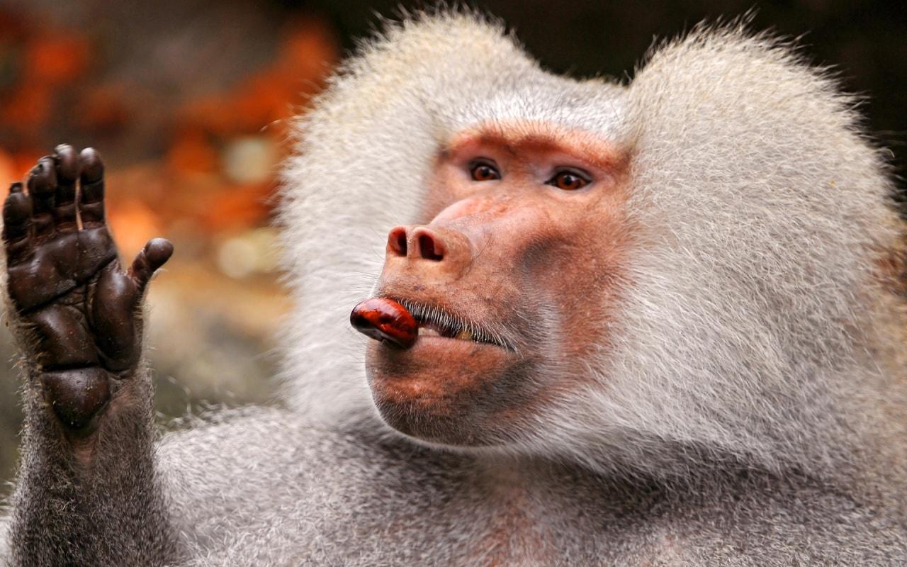 baboon wallpaper photos 59960