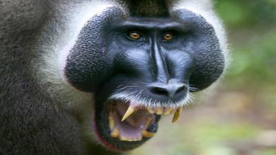 Angry Baboon Wallpaper 59963