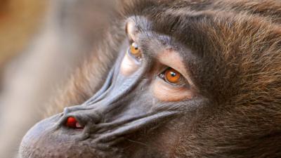 Baboon Animal Eyes Wallpaper 59962