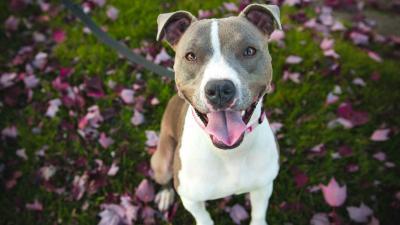 Pitbull Dog Desktop HD Wallpaper 62175