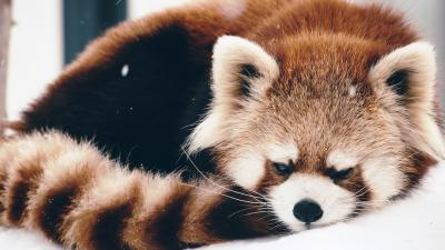 Red Panda Widescreen Wallpaper Background 60705