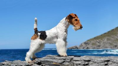 Fox Terrier Wallpaper 60073