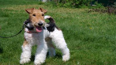 Fox Terrier Wallpaper Background 60074