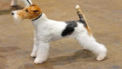 Fox Terrier Wallpaper Photos 60071