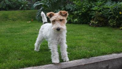Fox Terrier Wallpaper Pictures 60075