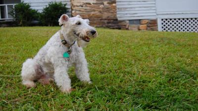 Fox Terrier Wide HD Wallpaper 60076
