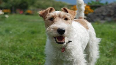 Happy Fox Terrier Widescreen Wallpaper 60072