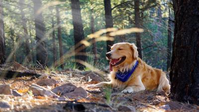 Golden Retriever On Hike Flagstaff Arizona Wallpaper 61768