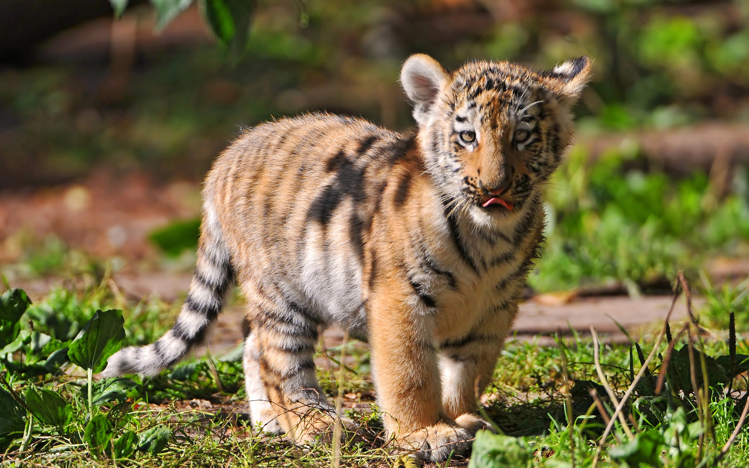 baby tiger wallpaper background hd 60127