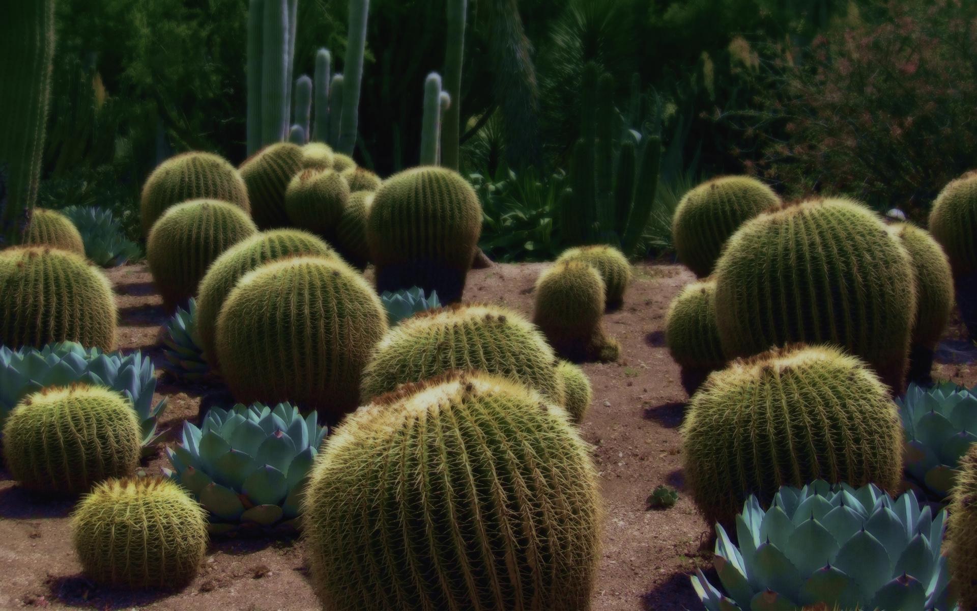 cactus desktop wallpaper pictures 59188