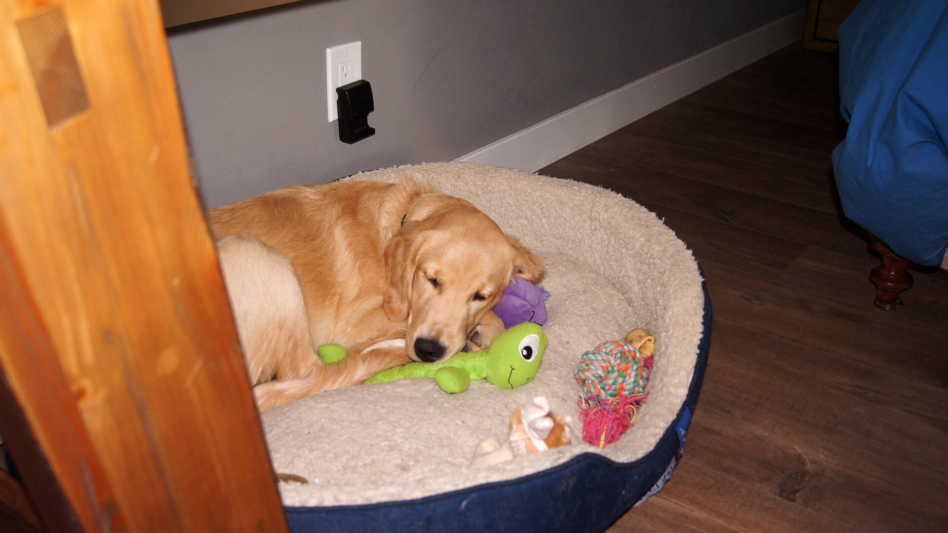 golden retriever sleeping with toys wallpaper 61823