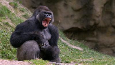 Angry Gorilla Widescreen Wallpaper 61985