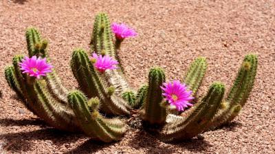 Cactus Flowers Wallpaper Background 59184