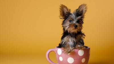 Cute Yorkshire Terrier Desktop Wallpaper 60182