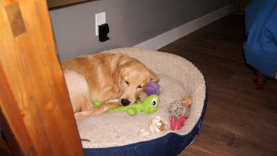 Golden Retriever Sleeping With Toys Wallpaper 61823