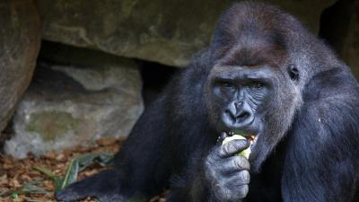 Gorilla Eating Desktop Wallpaper 61986