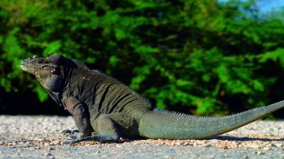 Komodo Dragon Animal Wallpaper 59768
