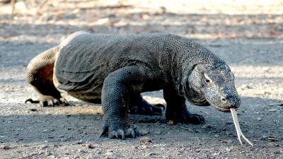 Komodo Dragon Computer Wallpaper 59769