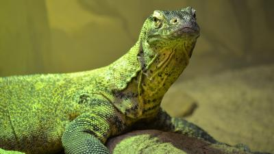 Komodo Dragon Computer Wallpaper 59772