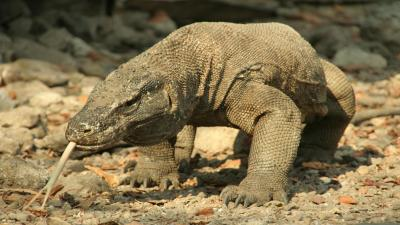 Komodo Dragon Desktop Wallpaper 59767