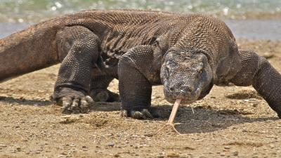 Komodo Dragon Wallpaper 59764