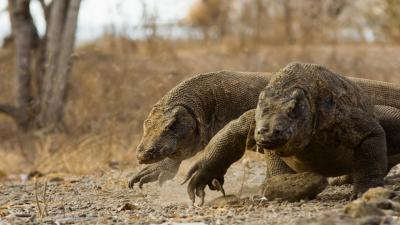 Komodo Dragon Wallpaper Background 59765