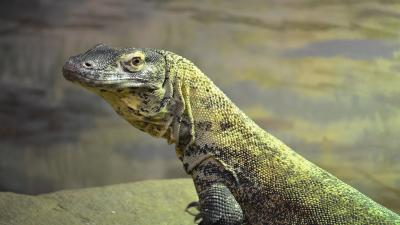 Komodo Dragon Wallpaper Photos 59771