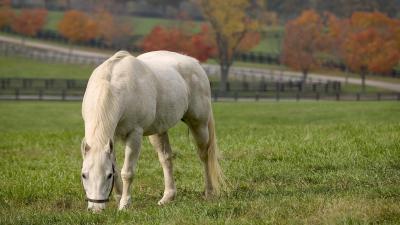 White Horse Grazing Wallpaper Background 62475