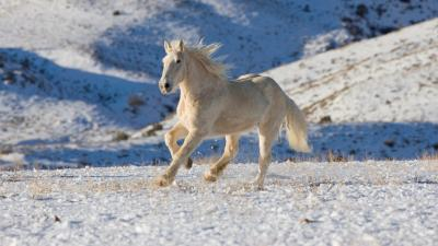 White Horse In Snow Wallpaper 62476