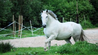 White Horse Widescreen HD Wallpaper 62474