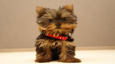 Yorkshire Terrier Computer Wallpaper 60179