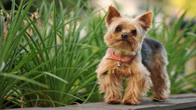 Yorkshire Terrier Desktop HD Wallpaper 60178