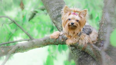 Yorkshire Terrier Wallpaper 60183