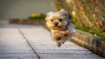 Yorkshire Terrier Wallpaper Photos 60177