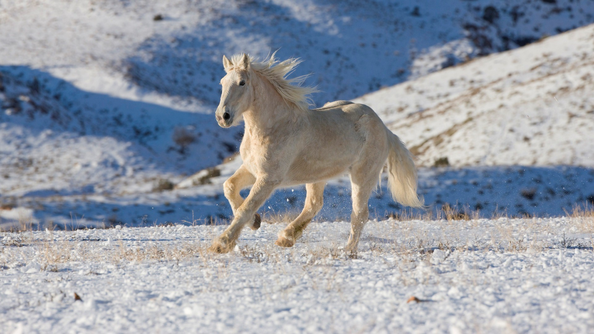white horse in snow wallpaper 62476