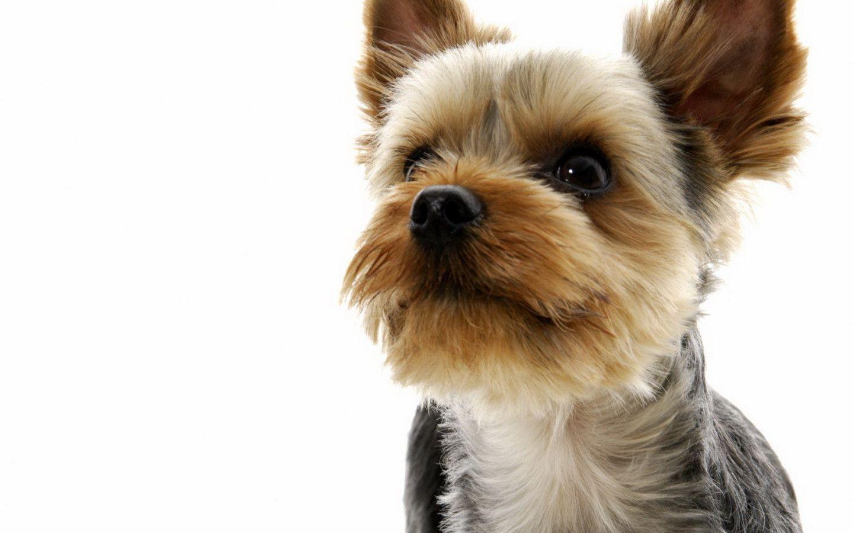 yorkshire terrier dog wallpaper 60180