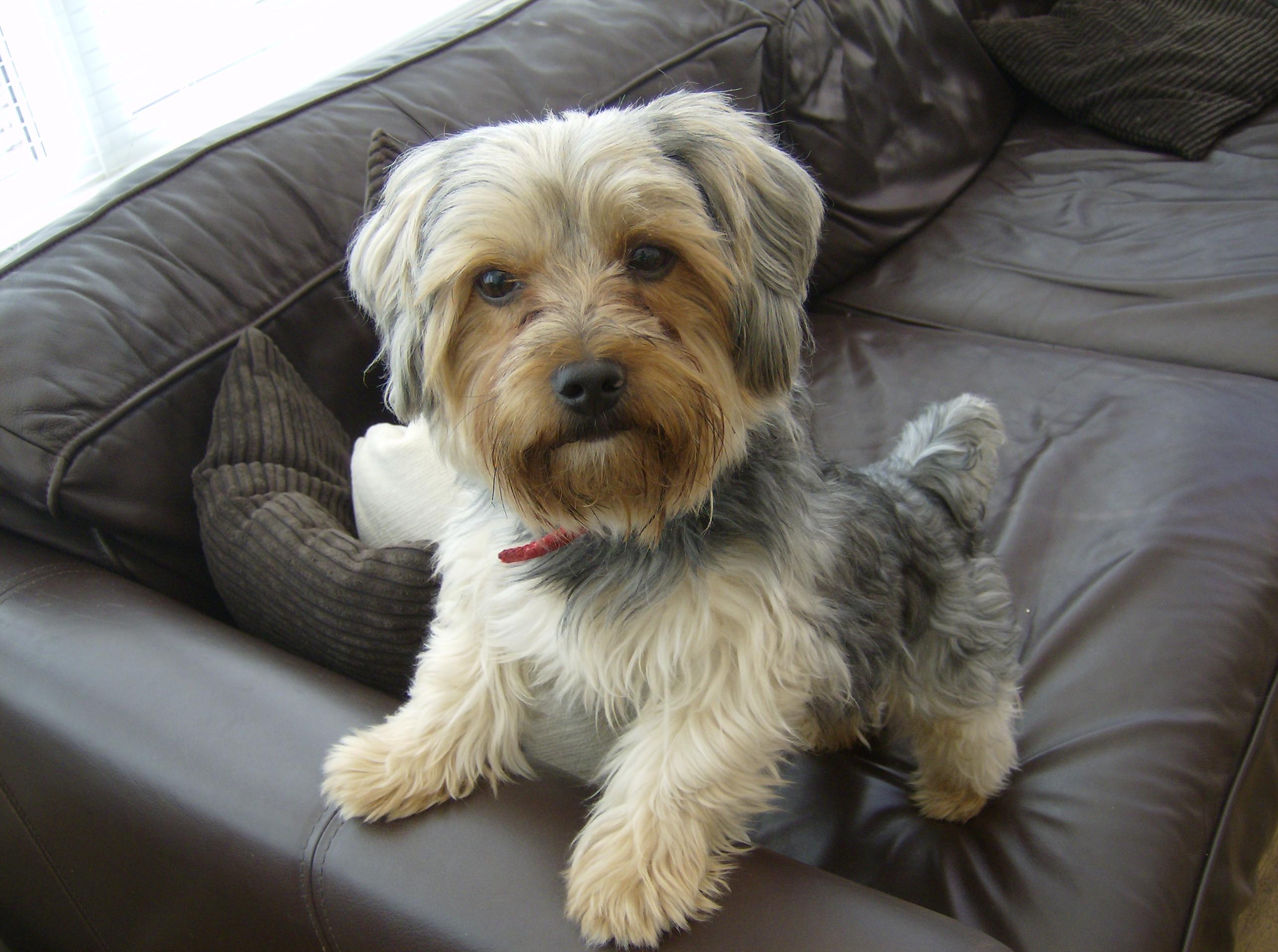yorkshire terrier wallpaper background 60181