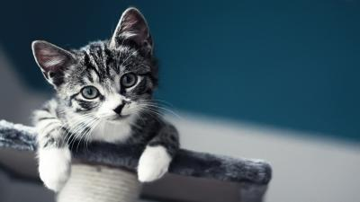Baby Cat Wallpaper Background HD 62334