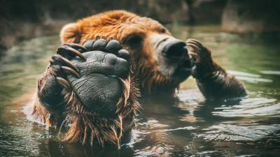 Bear Paw Up Close HD Wallpaper 61529