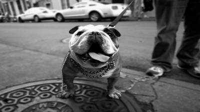 Monochrome Bulldog Wide Wallpaper 61528