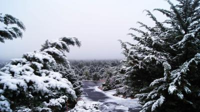 Pine Arizona Snow Wallpaper 61817
