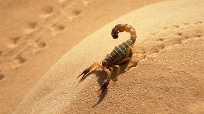 Scorpion In Sand Desktop Wallpaper 61856