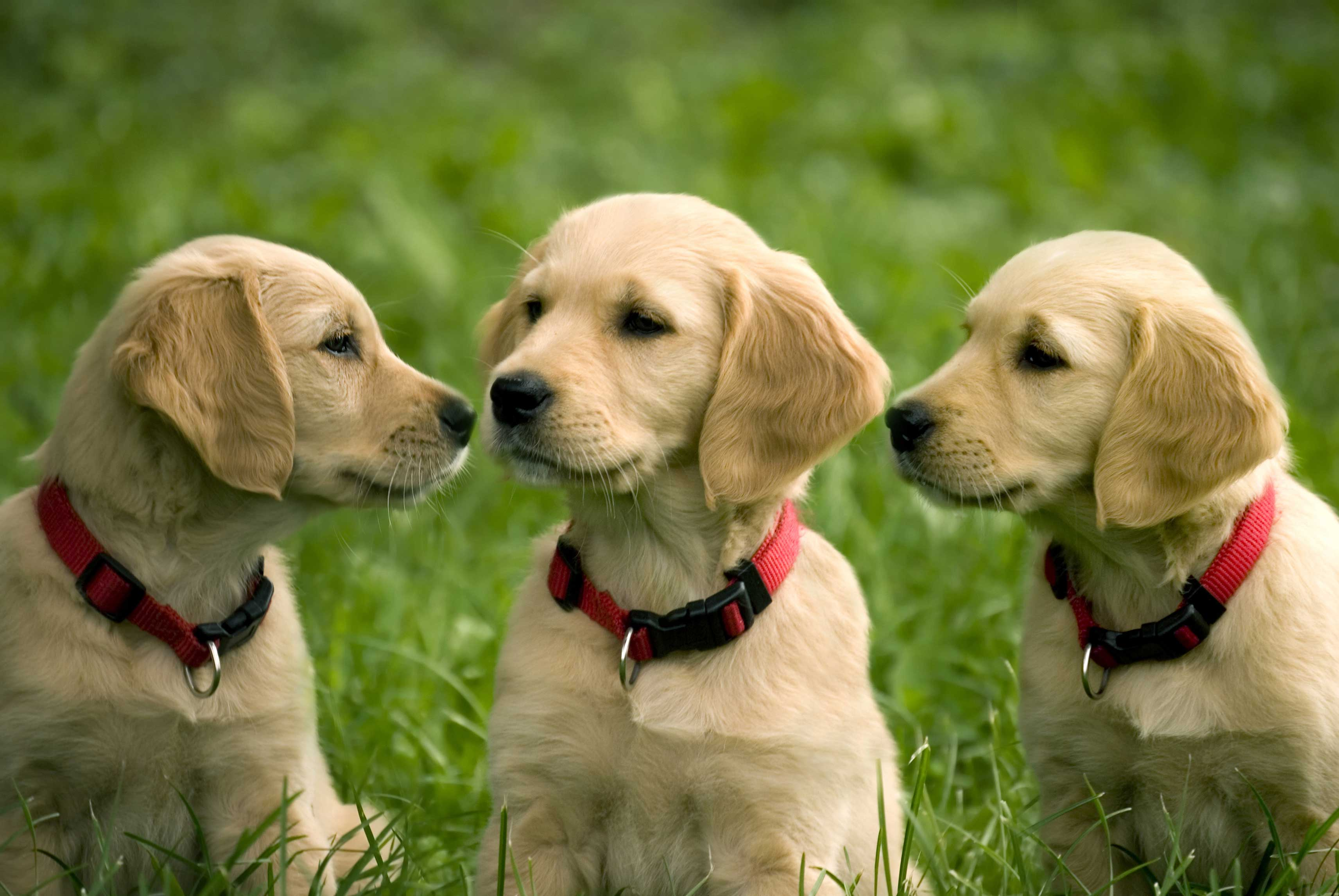 golden retriever puppies wide wallpaper 61655