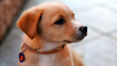 Cute Puppy Wallpaper Background 61657