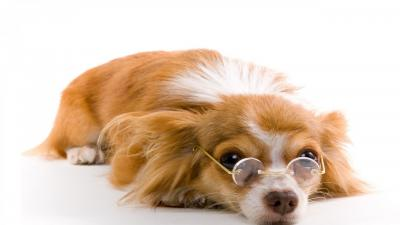 Dog Wearing Glasses Desktop Wallpaper 60406