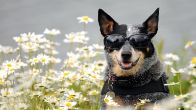 Dog Wearing Glasses HD Wallpaper 60407